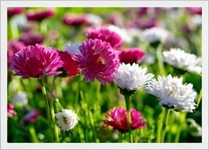 Jenis dan Varietas Tanaman Bunga Krisan