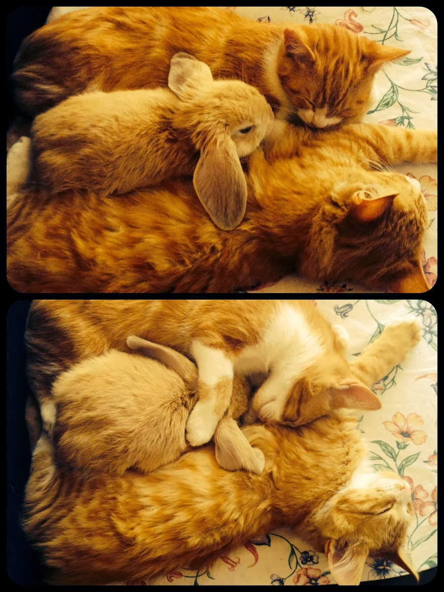 Funny animals of the week - 13 December 2013 (40 pics), bunny and cats cuddling and sleeping