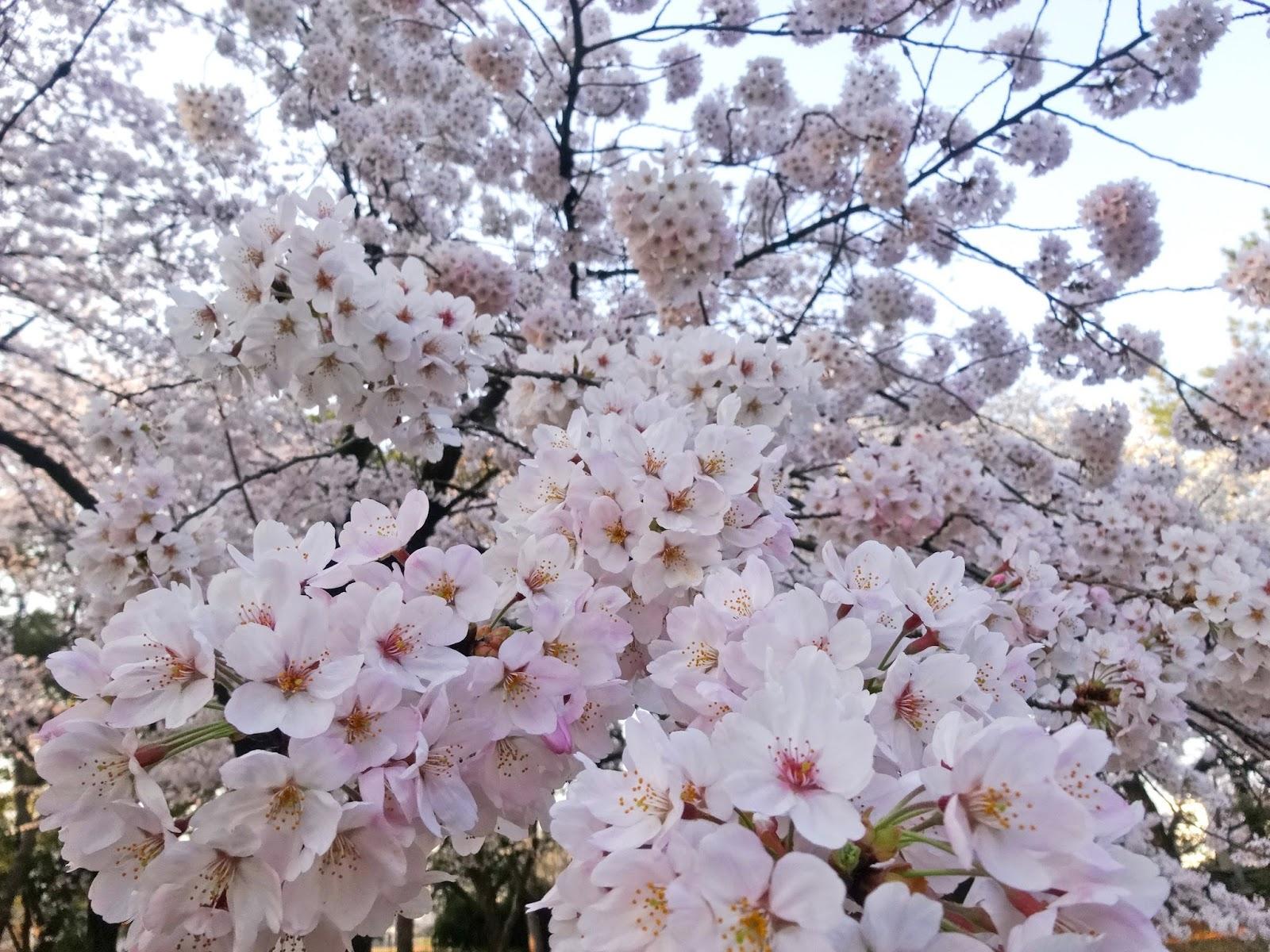 桜,代々木公園〈著作権フリー画像〉Free Stock Photos