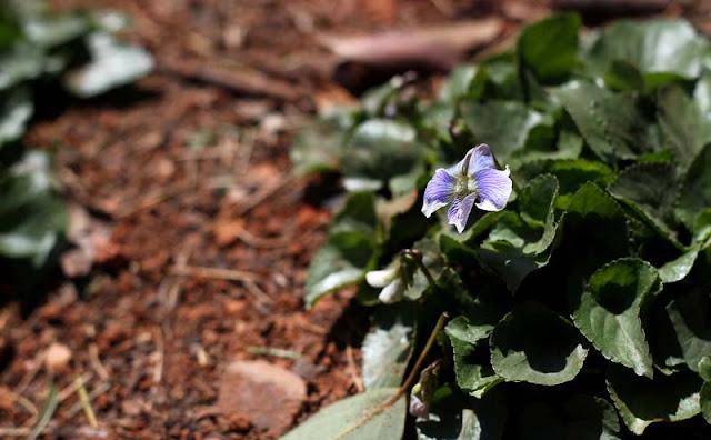 Labrador Violet Flowers
