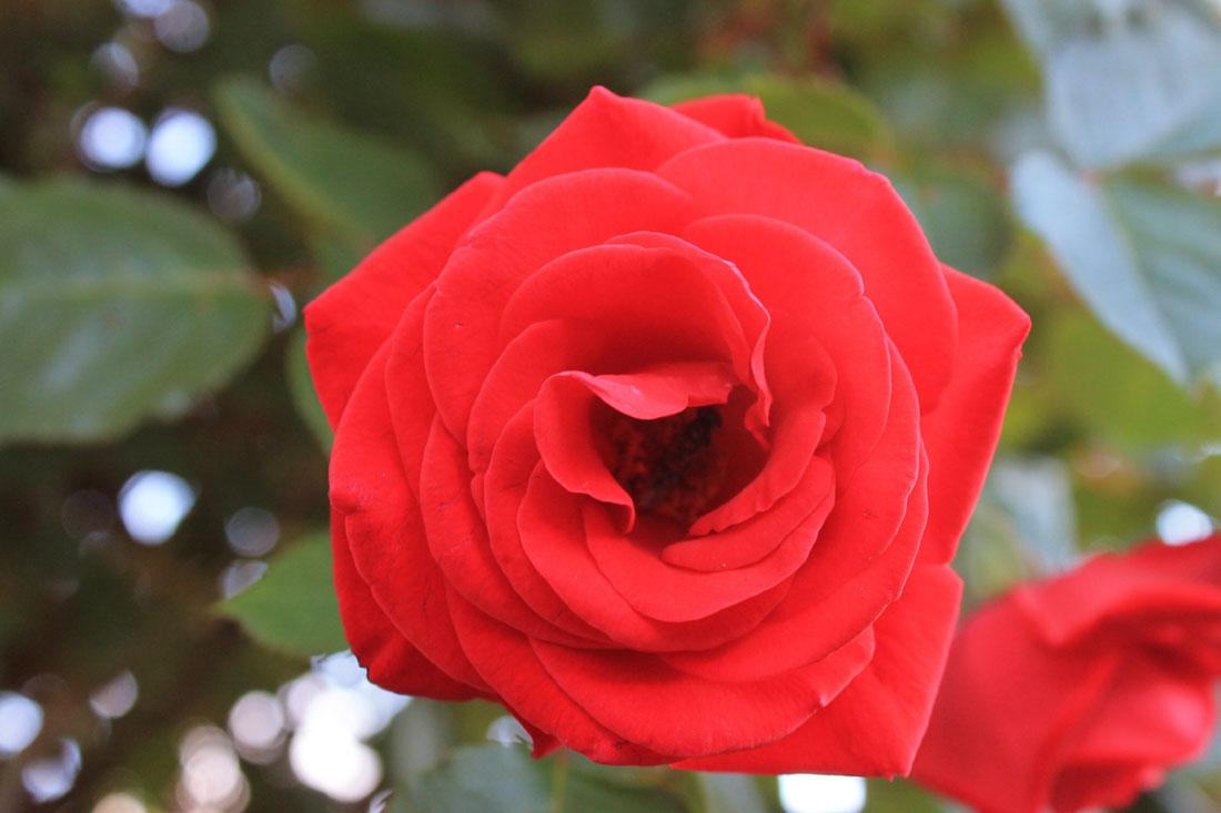 Rosa in fiore, 26 luglio 2015