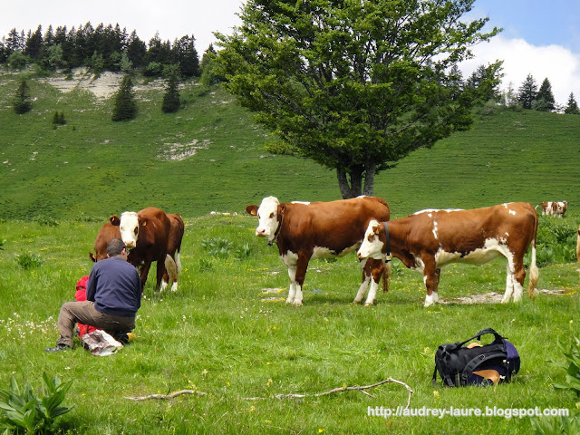 vaches camping