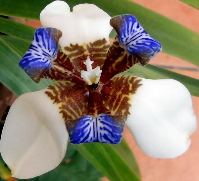 Neomarica, Lirio de Misiones, Lirio Azul