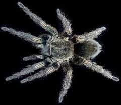 Permalink to Research : Tarantula Toxins Potentially Use as Painkillers