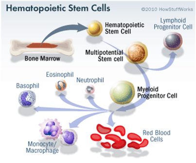 Stem Cell Extraction Adults