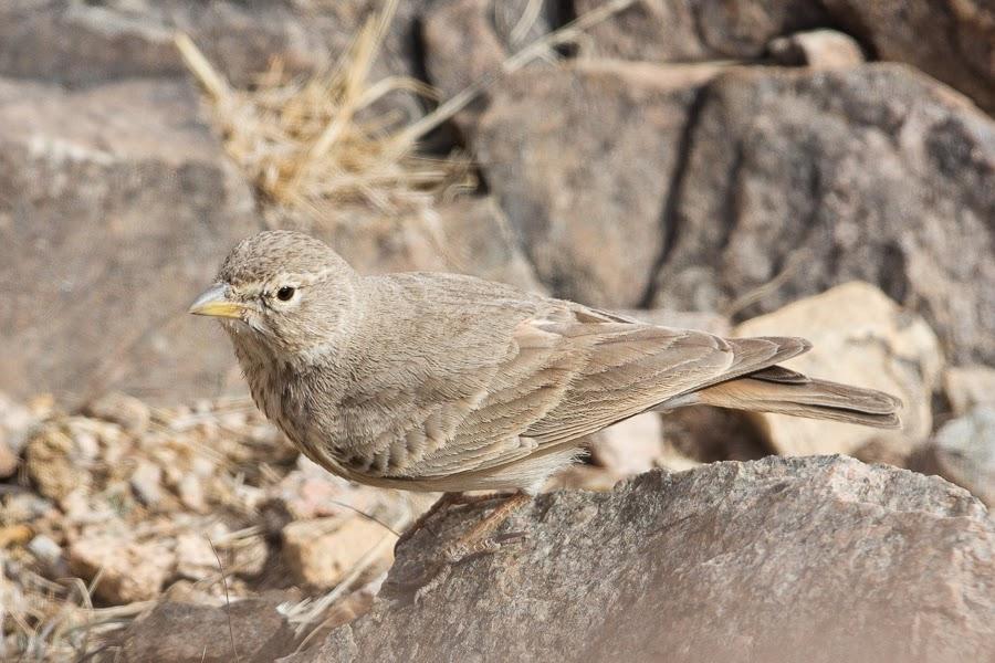 Desert Lark samharensis (pale-hijazensis) - Taif