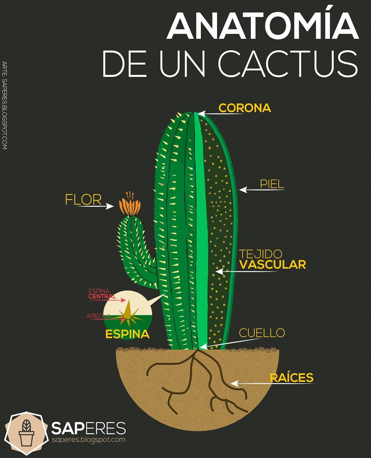Anatomía del cactus | saperes