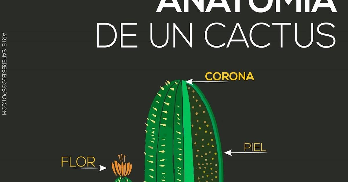 Anatom a del cactus saperes - Informacion sobre los cactus ...