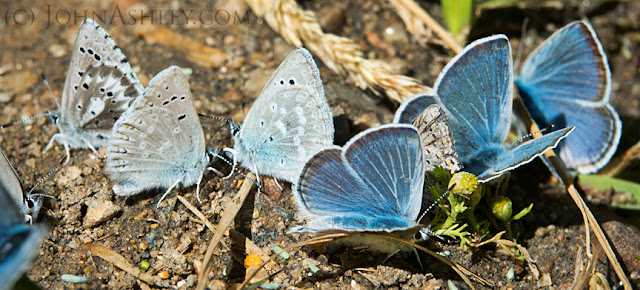 Mud-puddling blue butterflies (c) John Ashley