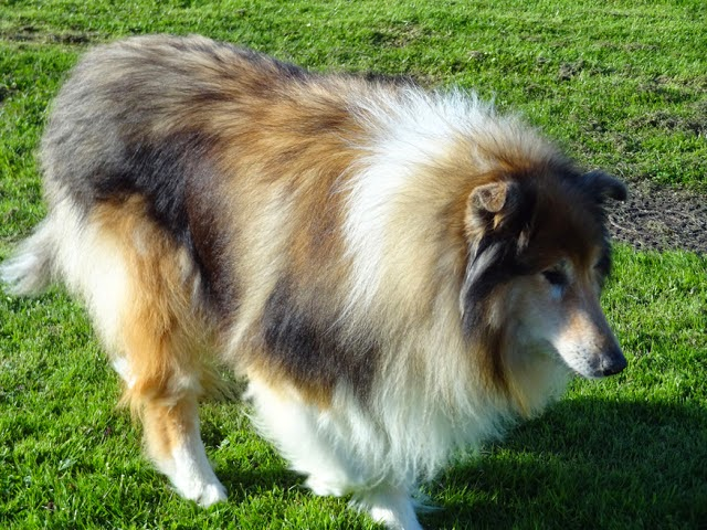 Our handsome Rough Collie - Shadow