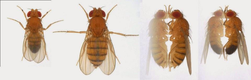 El dimorfismo sexual en la mosca de la fruta: 2015