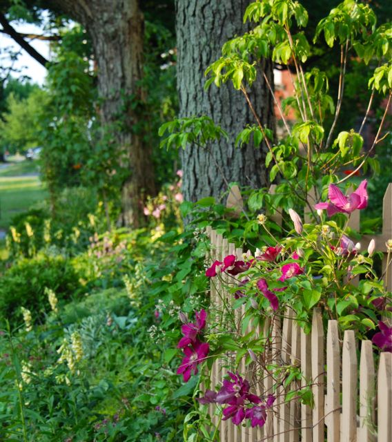 Clematis 'Earnest Markham' on the fence looking toward the Shade Path garden with yellow foxgloves in bloom, Digitalis grandiflora.