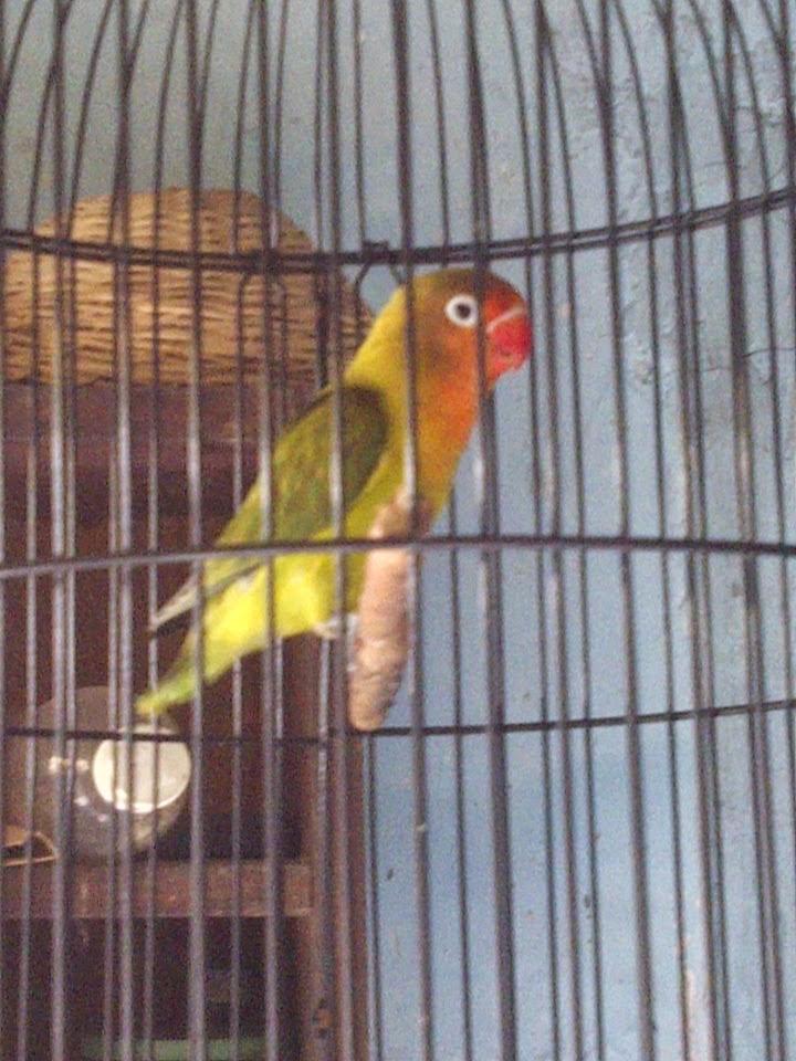 Beternak Burung Parkit Tidak Sulit