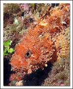 . especies de peces venenosos, no por ingestión (como el pez globo que en .