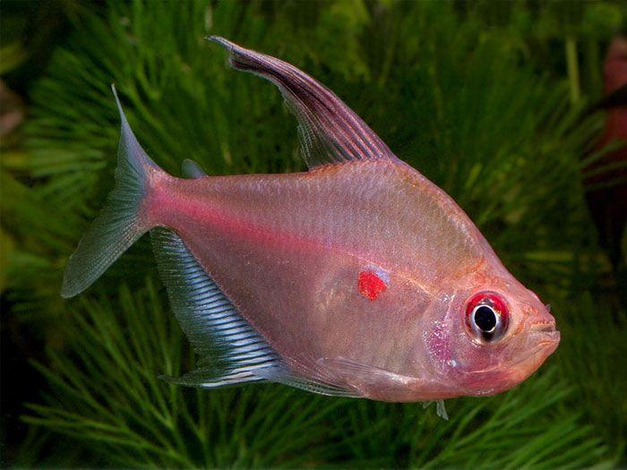 Tetra Fish Aquascape Project