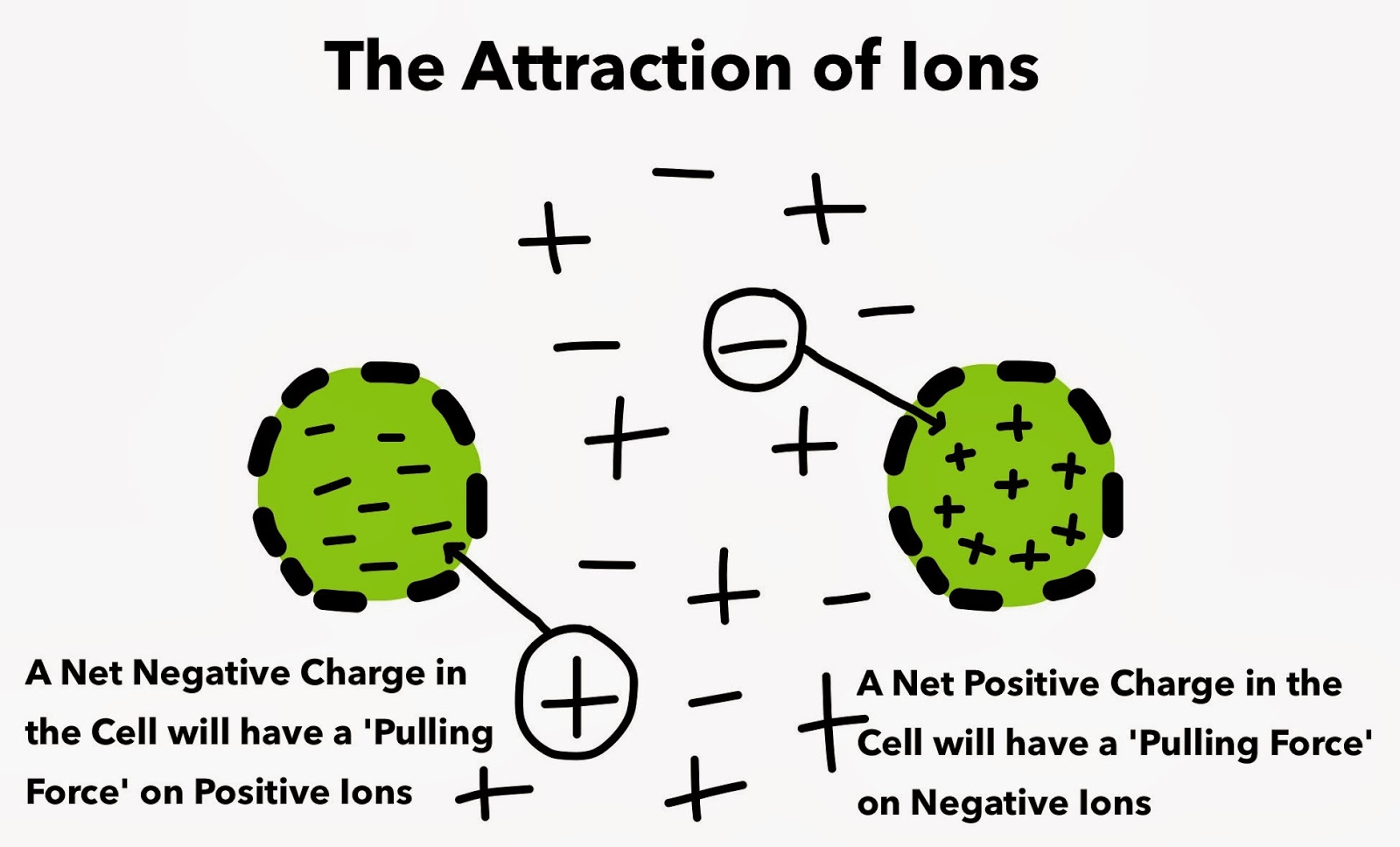 The Attraction of Ions Heart Cell Membrane Potential