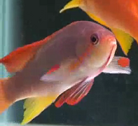 Lyretail male anthias with females at the background