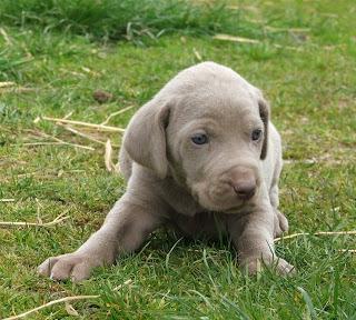 Weimaraner Puppy Pictures