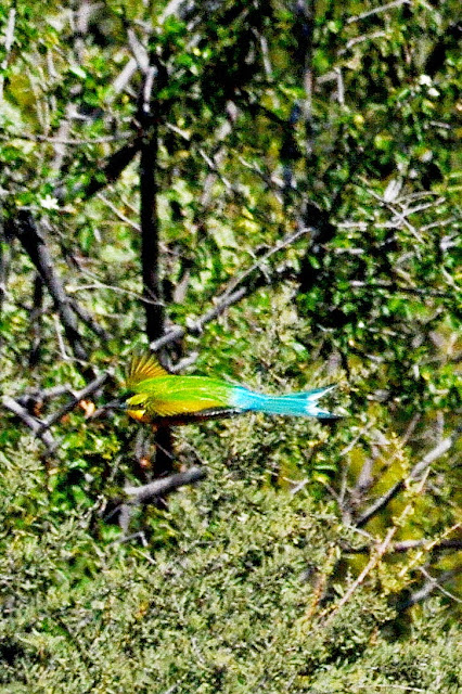 Swallow-tailed Bee-eater in flight. Bird with green body and wings, blue forked tail