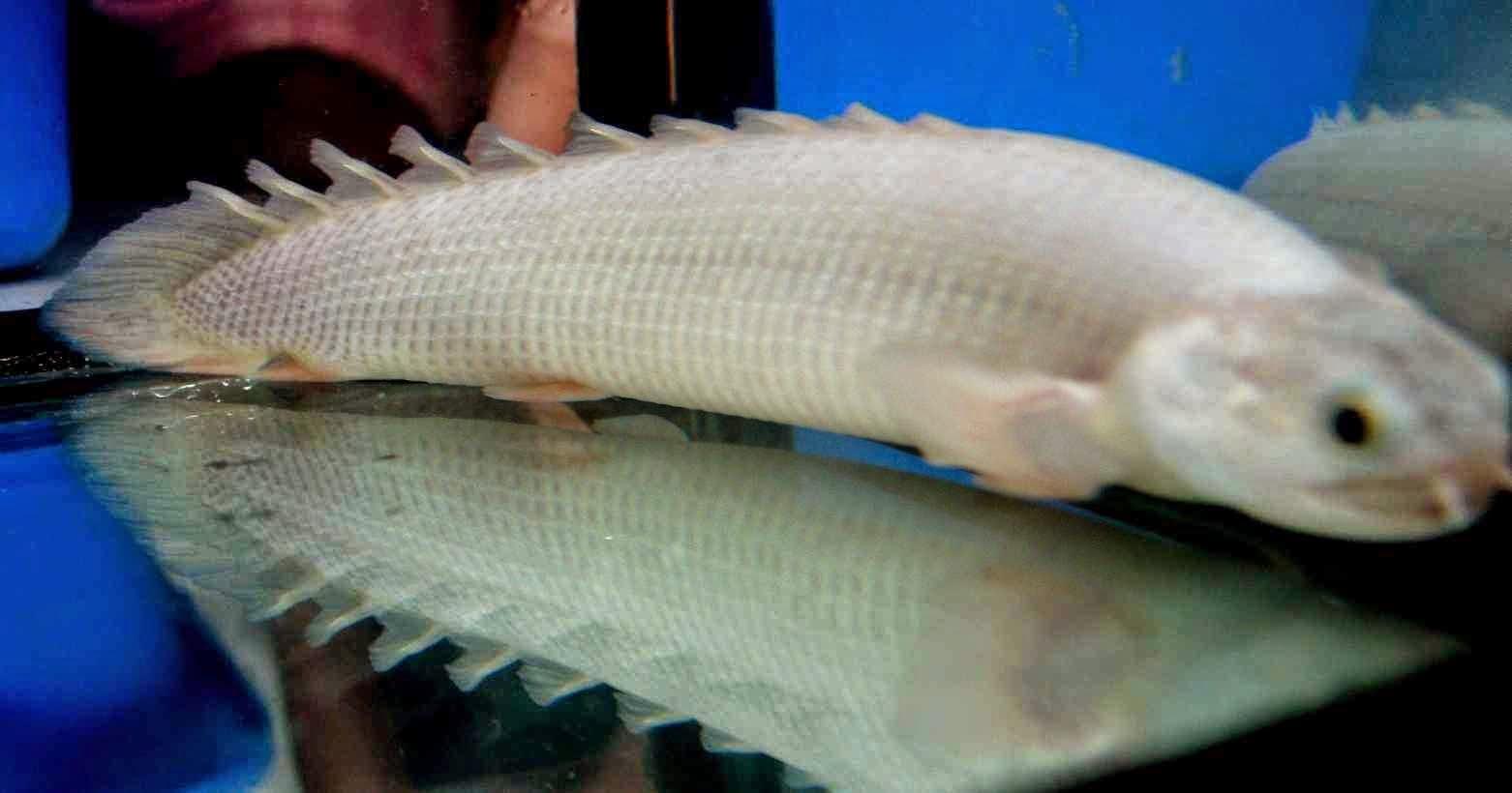 Pt griya artha kencana aquarium platinum fish exotic for Rare aquarium fish