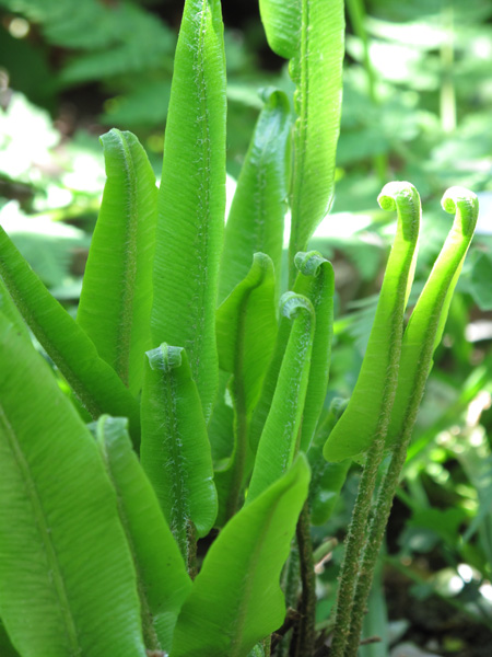 HerbsTreat and Taste HARTS TONGUE FERN INFORMATION BENEFITS