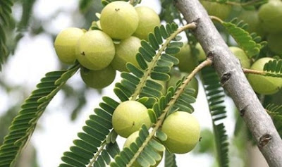 มะขามป้อม (Phyllanthus Emblica) @ www.indiamart.com