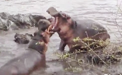 Hippos battle it out in Serengeti