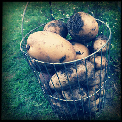 Freshly dug potatoes, Cape Cod by Karina Allrich