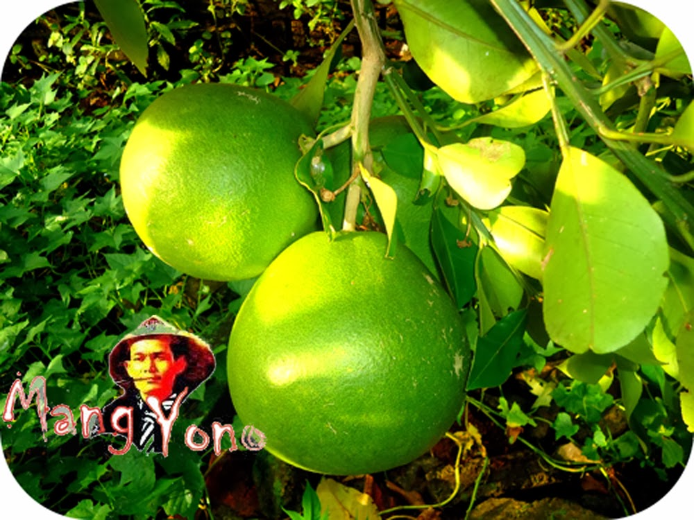 Musim Jeruk Bali ( Pamelo ) Tapi Jeruk Bali Akan Berbuah Sepanjang Tahun