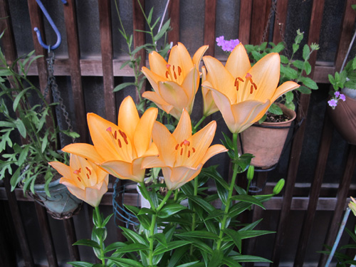 Japanese Lilies