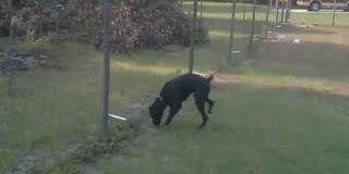 Video Lucu Anjing Kesetrum di Pagar Listrik
