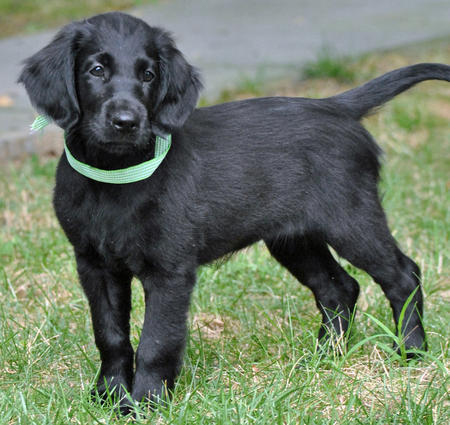 Flat Coated Retriever Puppy Best Pictures Puppy Photos