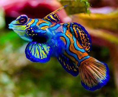 سمكة الماندارين