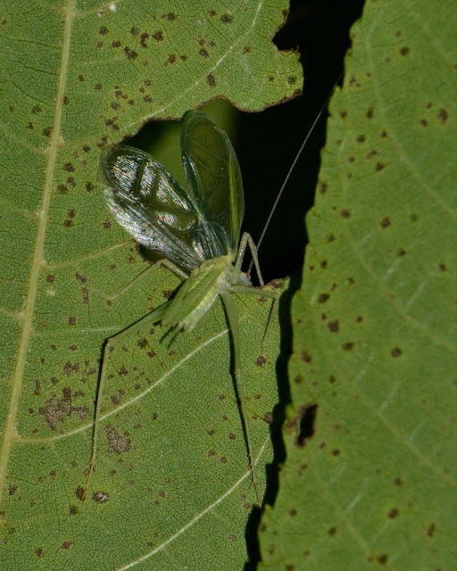 tree cricket singing through hole in leaf
