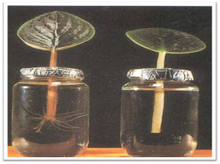 Auxin promotes rooting