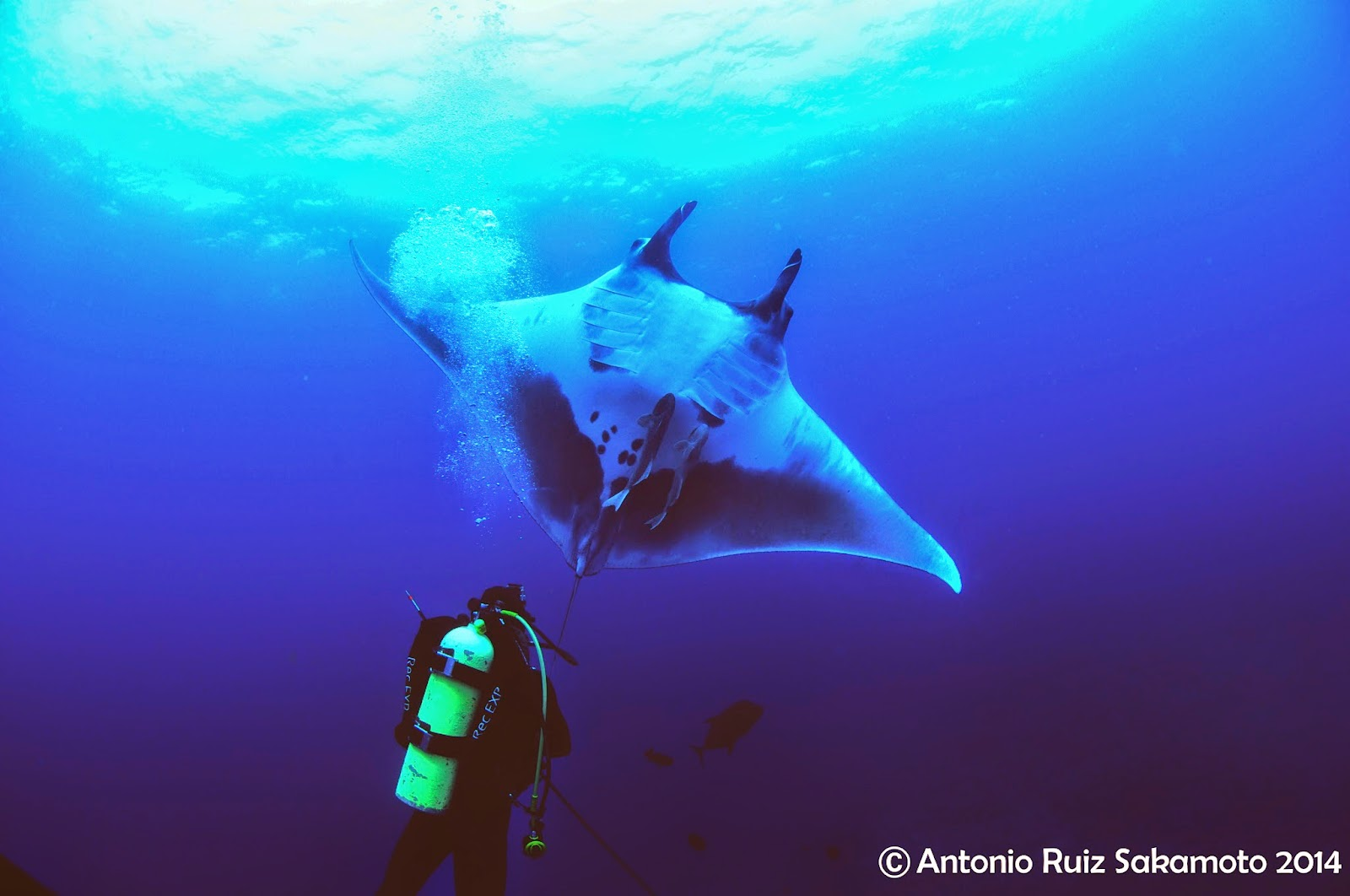 Manta ray swimming underwater with its dorsal fins spread open viewed - The Aquarium S Marine Conservation Action Fund Helped Support The Satellite Tagging Of Manta Rays Off The Coast Of Mexico Led By Josh Stewart Of The Manta