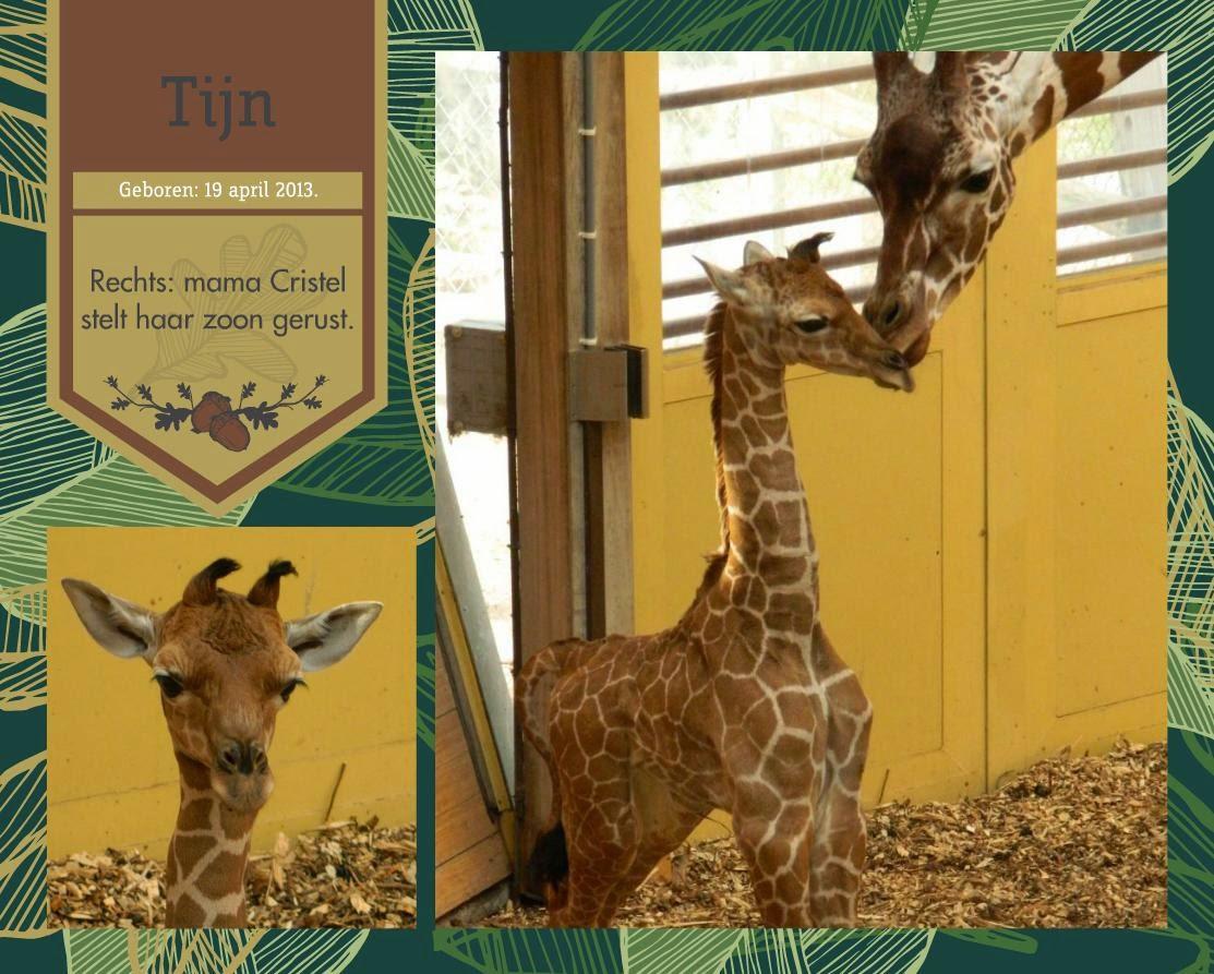 waar giraf leeft