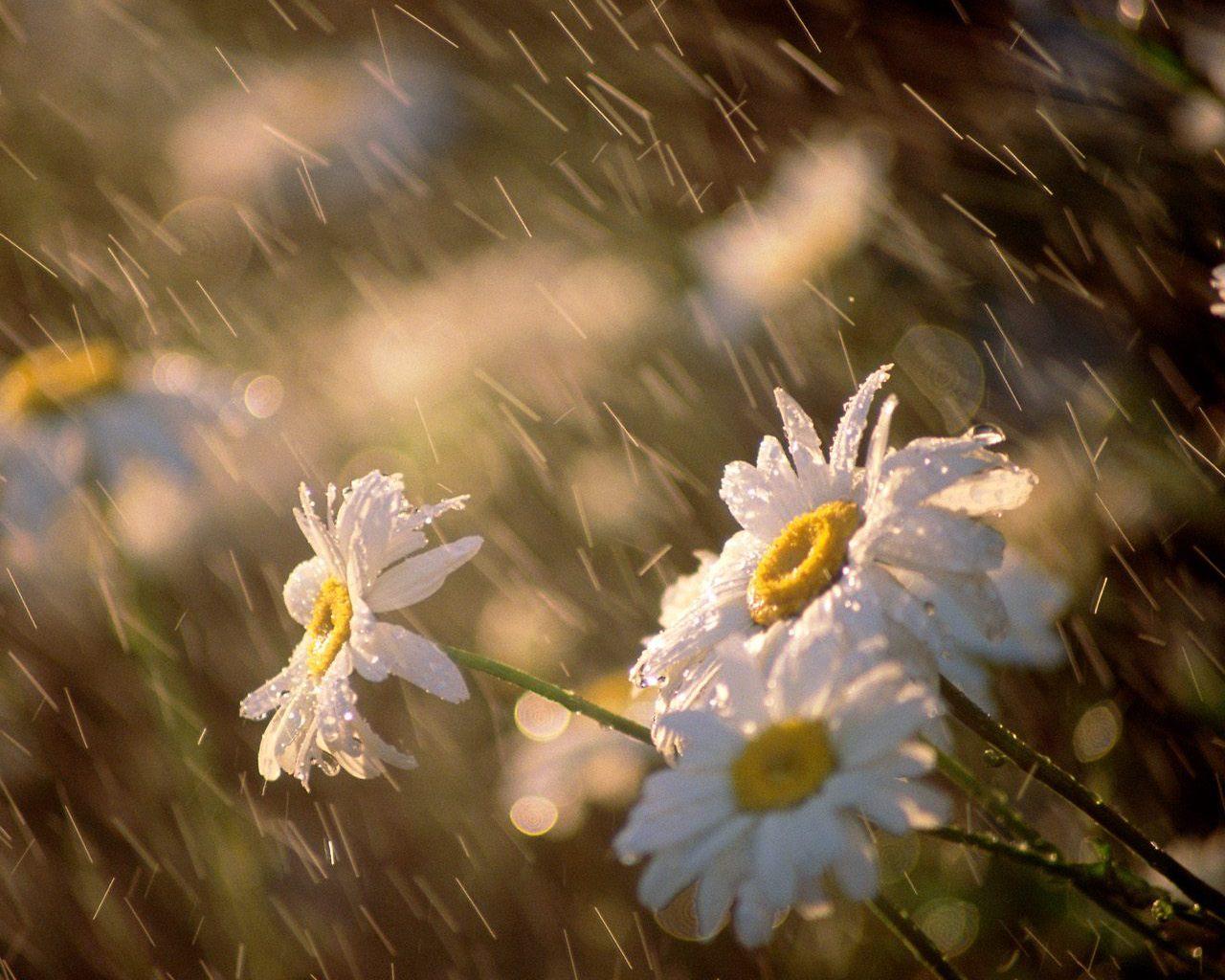 http://1.bp.blogspot.com/-kABfOryE6tA/T5LUDungmBI/AAAAAAAAAUE/KDGnlHH-bOI/s1600/daisies.jpg