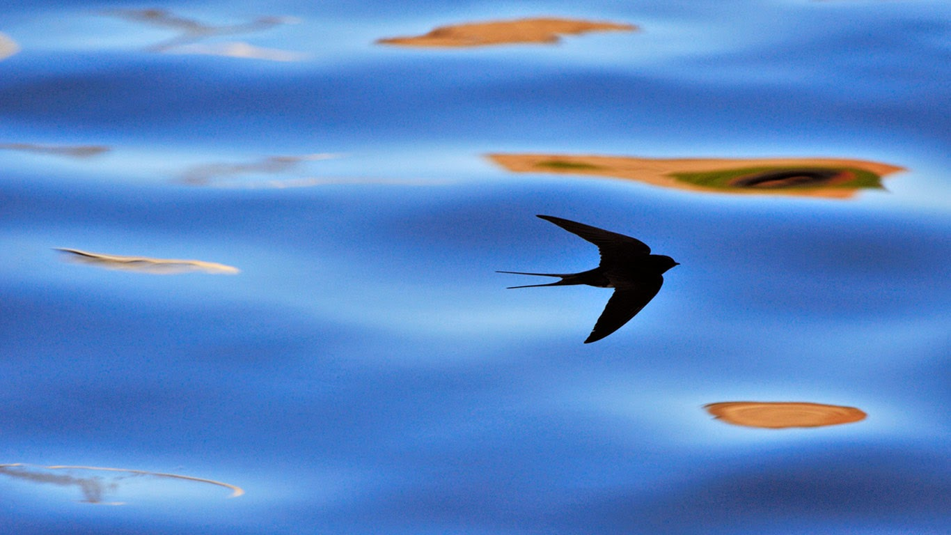 Silhouette of barn swallow in Berwickshire, Scotland (© Laurie Campbell/Alamy) 479