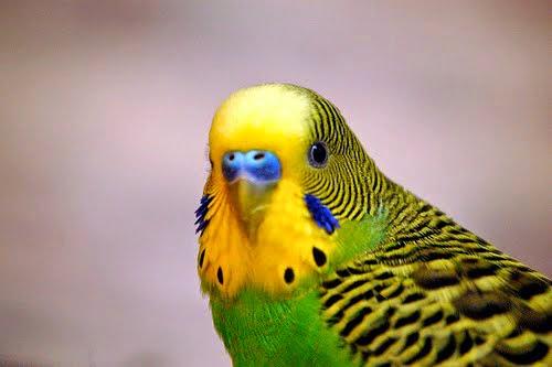 Foto Burung Palek Jantan