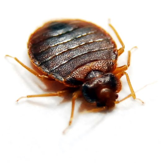 Nice Are Bed Bugs Contagious?