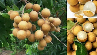 Longan Farming Business