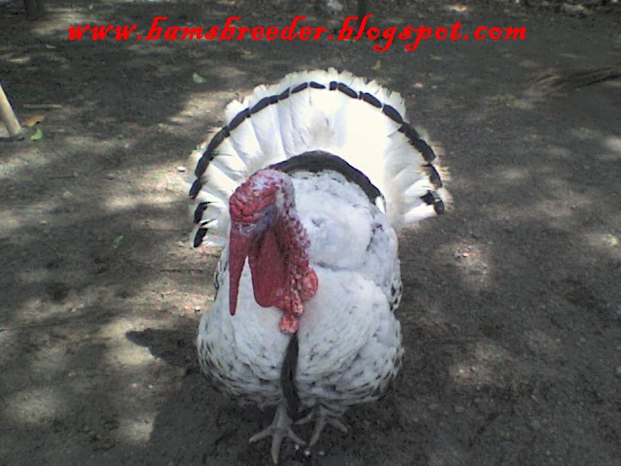 ternak ayam siam