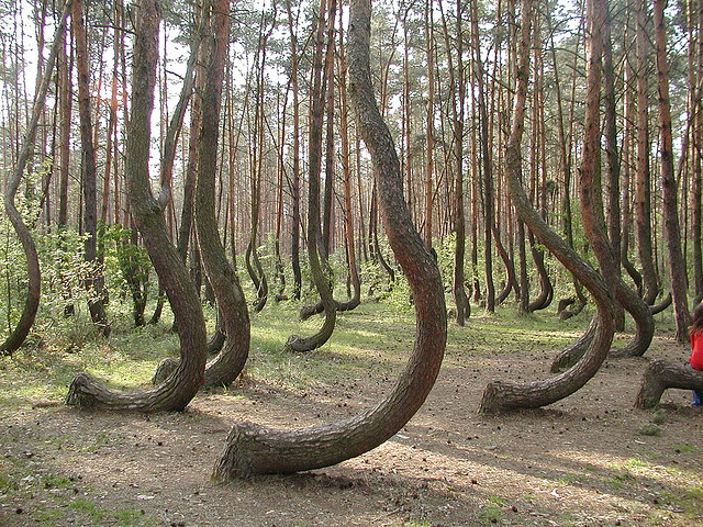 The Crooked Forest Of Gryfino Poland