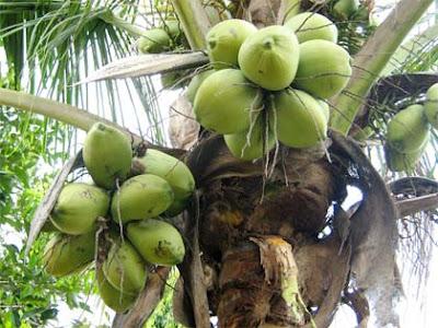 Berbagai Macam Manfaat Dari Pohon Kelapa