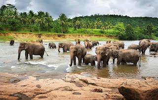 Manada de elefantes africanos tomando agua en el río