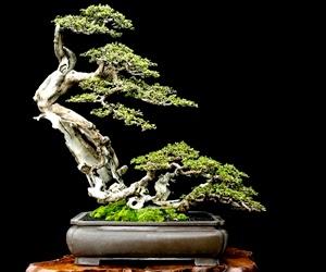 """<img src=""""bonsai7.jpg"""" alt=""""foto bonsai"""">"""