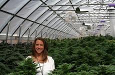 Η Ολλανδία νομιμοποίησε την καλλιέργεια μαριχουάνας