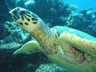 Tortuga Mar Rojo