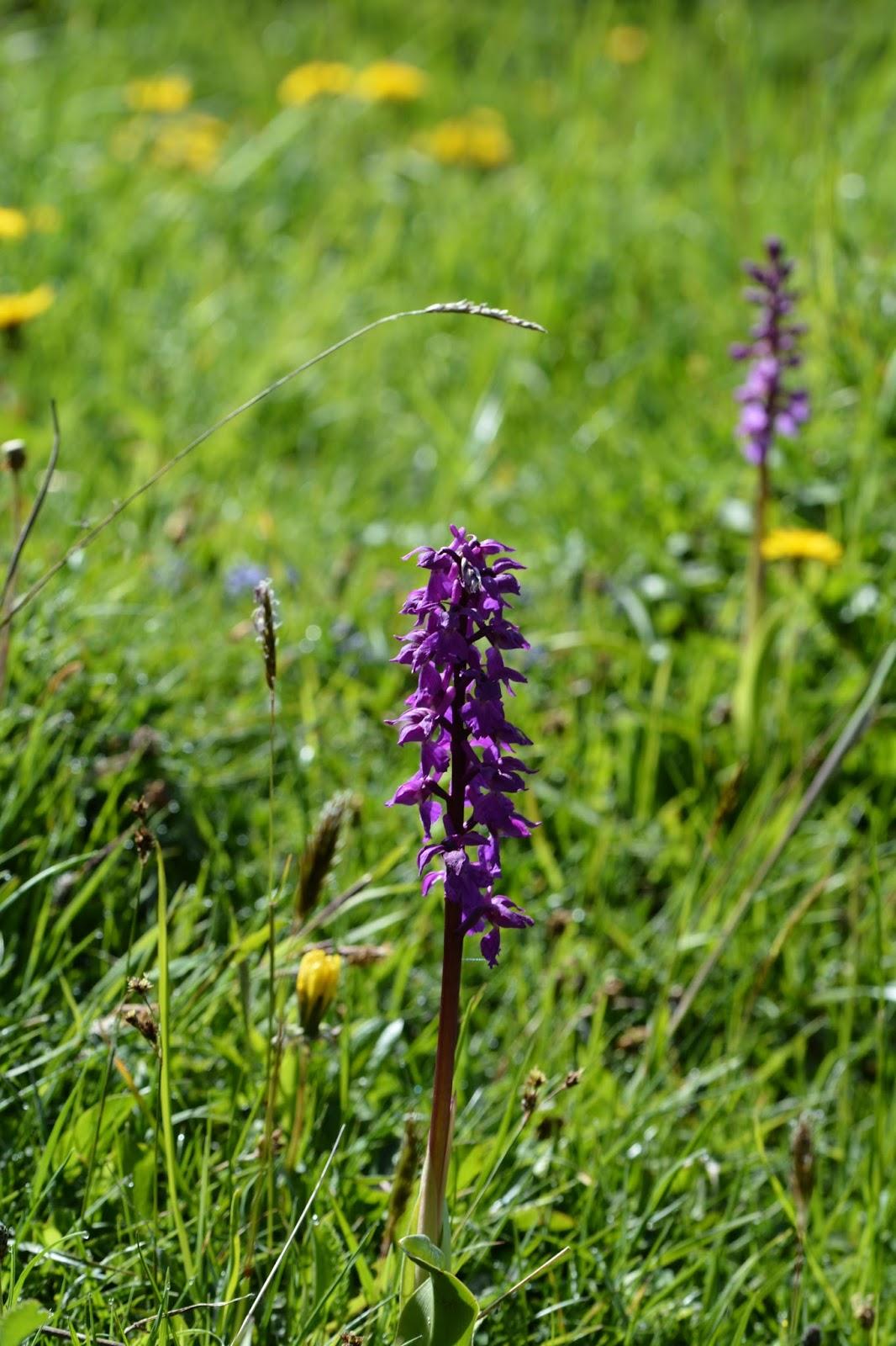orchidee sauvage de montagne